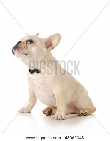 cute puppy - french bulldog puppy wearing black bowtie looking up sitting on white background