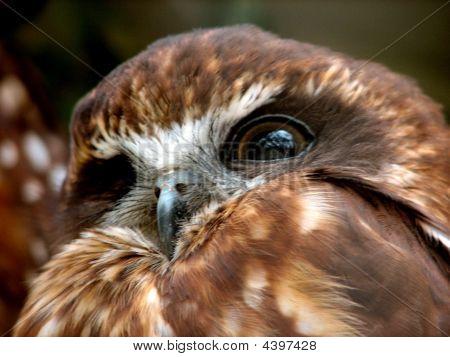 Boobook Owll