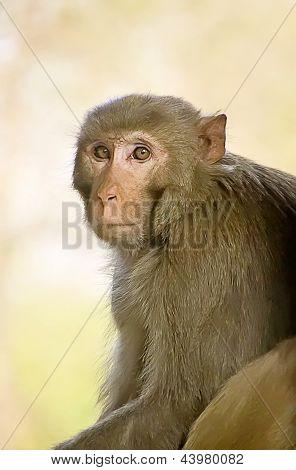 Monkey (Macaca mulatta )