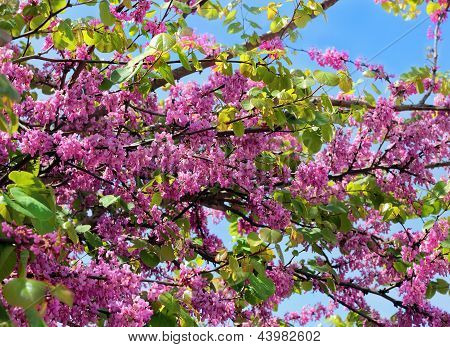 Red Flowers Of Judas Tree