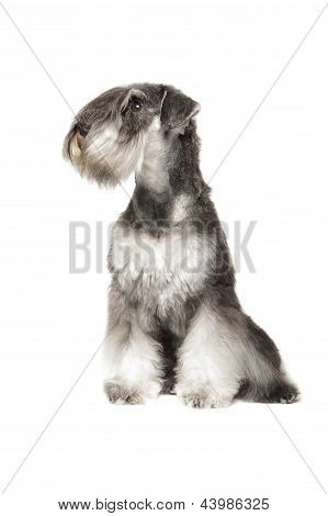 Miniature Schnauzer Pepper & Salt
