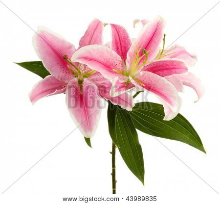 beautiful pink lily, isolated on white
