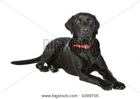 Black Labrador Lying Down