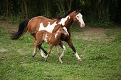image of paint horse  - Paint horse mare with adorable foal on pasturage in summer - JPG