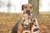 picture of catahoula  - Nice brown Louisiana Catahoula dog scared of parenting - JPG