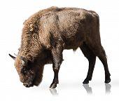 stock photo of female buffalo  - Portrait Of Bison Isolated On White Background - JPG