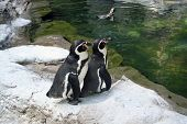 Penguins at St Louis Zoo