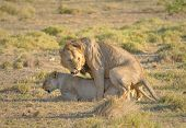 stock photo of coitus  - highly detailed image of Mating lions Amboseli national park - JPG