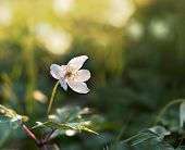 stock photo of windflowers  - Close up of windflower  - JPG