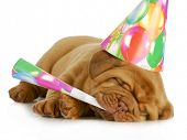 birthday pupp - dogue de bordeaux puppy blowing on horn and wearing birthday hat isolated on white b