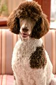 stock photo of spotted dog  - Standard parti poodle - JPG