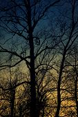 Silhouette of birch tree with scary branche. Sunset time.