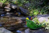 pic of lorikeets  - Colorful Lorikeet stands besides pool of water at the Riverbanks Zoo and Garden in Columbia South Carolina - JPG
