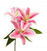 stock photo of lillies  - beautiful pink lily - JPG
