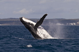 stock photo of exhibitionist  - A Humpback whale breach in the hervey bay Australia  - JPG