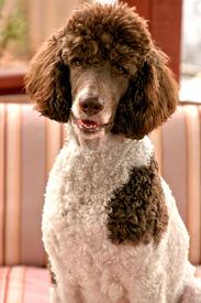 foto of parti poodle  - Standard parti poodle - JPG