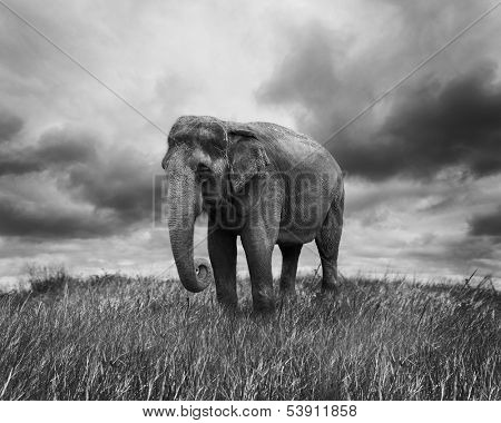 Elephant Walking On The Grass
