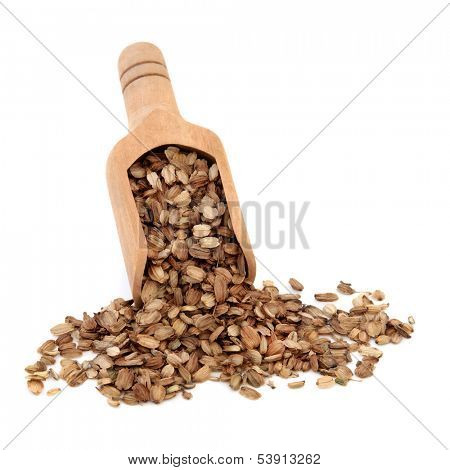Angelica seed herb used in chinese herbal medicine in a wooden scoop over white background.