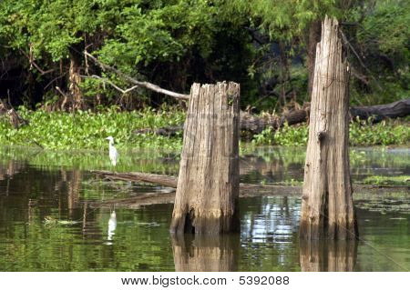 Cypress Tree Stumps