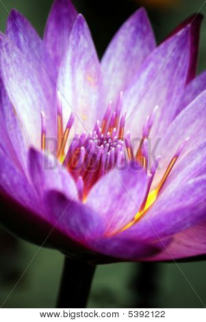 Purple Aquatic Lily