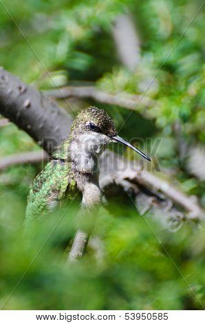 Ruby-throated Hummingbird Looking Mean