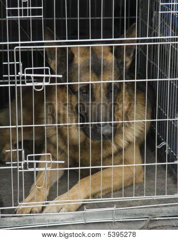 German Shepherd In A Car Cage.