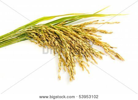 Paddy Rice Seed.