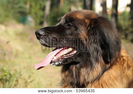 Leonberger Dog (side View)