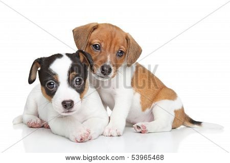 Jack Russel Terrier Puppies