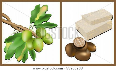 Branch of the Shea tree, Shea nuts and Shea Butter