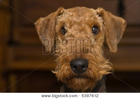 Innocent Looking Airedale Terrier Dog
