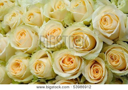 Background of beautiful cream-colored roses
