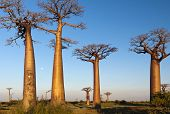 stock photo of unique landscape  - The landscape with baobab trees during the sunset - JPG