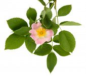 stock photo of dog-rose  - Hip rose flower - JPG