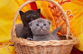 Beautiful Scottish gray kittens in a basket