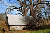 picture of cottonwood  - An old log cabin beneath several massive cottonwood trees - JPG