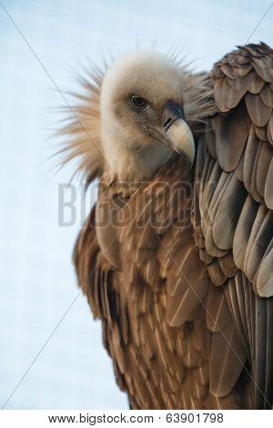 Portrait of griffon vulture (Gyps fulvus) on stump