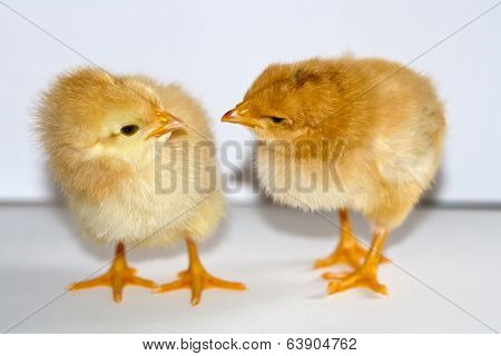 Two Small Yellow Chicks Standing And Looking At Each Other Head Bowed On White