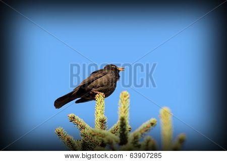 Male Blackbird Singing In Spring