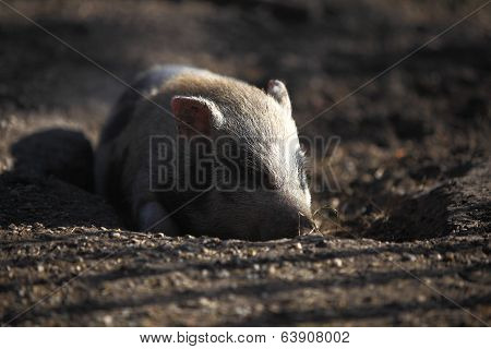 Bentheim Pig Outdoor