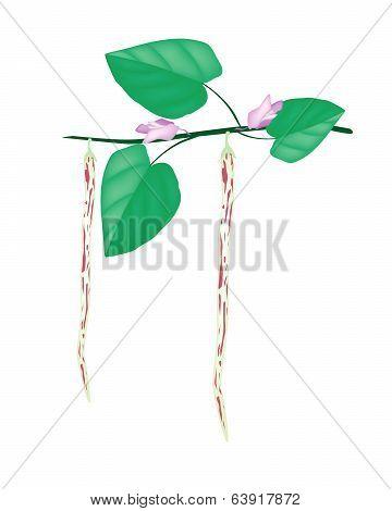 Fresh And Ripe Centrosema Pubescens On A Plant