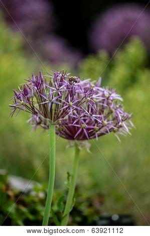 Allium Christophii (star Of Persia)