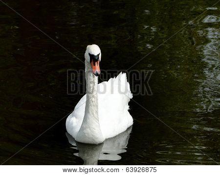 Swan on a Dark Pond