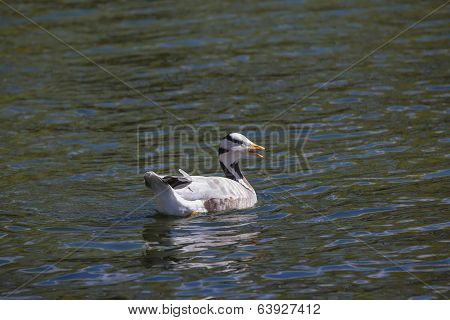 A Bar-headed Goose, Anser Indicus, Front View, On Green Water.