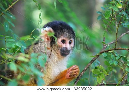 Squirrel Monkey Peeking Bewteen The Trees