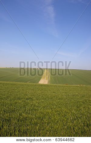 Wheat Fields In Yorkshire