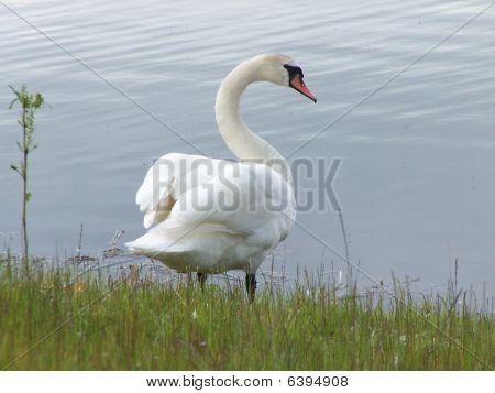 Swan_6281