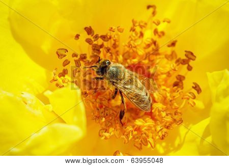 Honeybee Pollinates A Yellow Rose