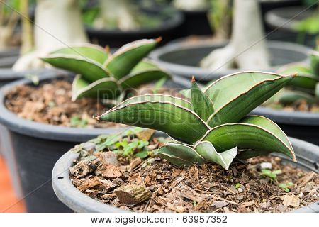 Little Sansevieria Francisii