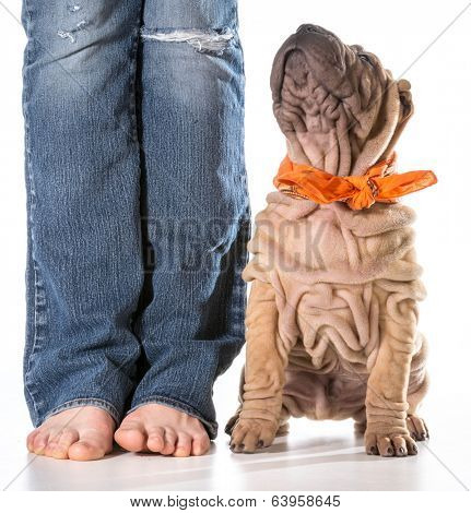 dog and owner - chinese shar pei sitting beside owner isolated on white background